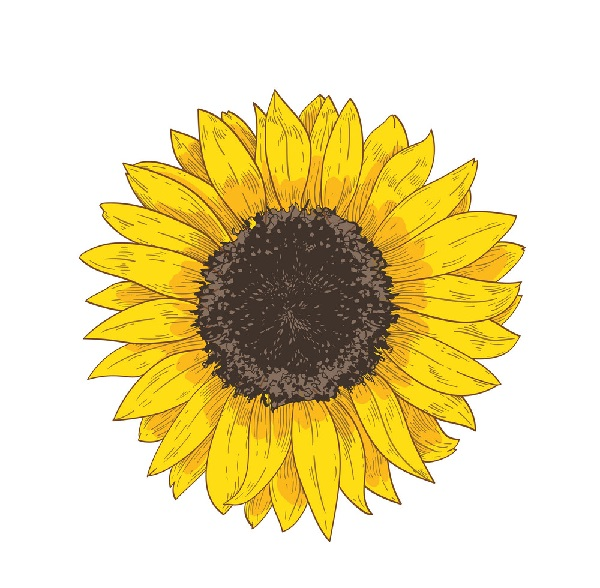 12 +Amazing way to draw a Sunflower drawing Within easy steps.